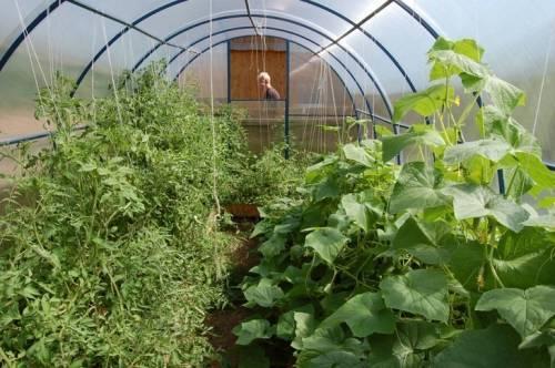 Что можно выращивать в одной теплице одновременно: таблица совместимости овощных культур при посадке? на что влияет соседство овощей? русский фермер