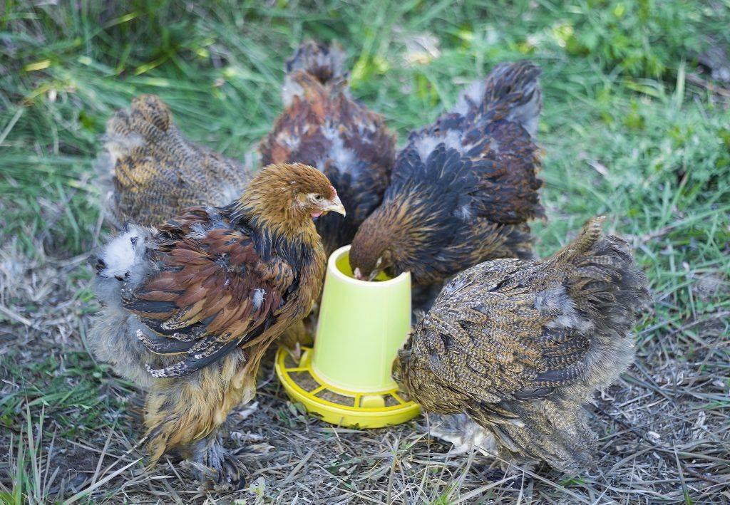 Куры яичных пород — какая лучше