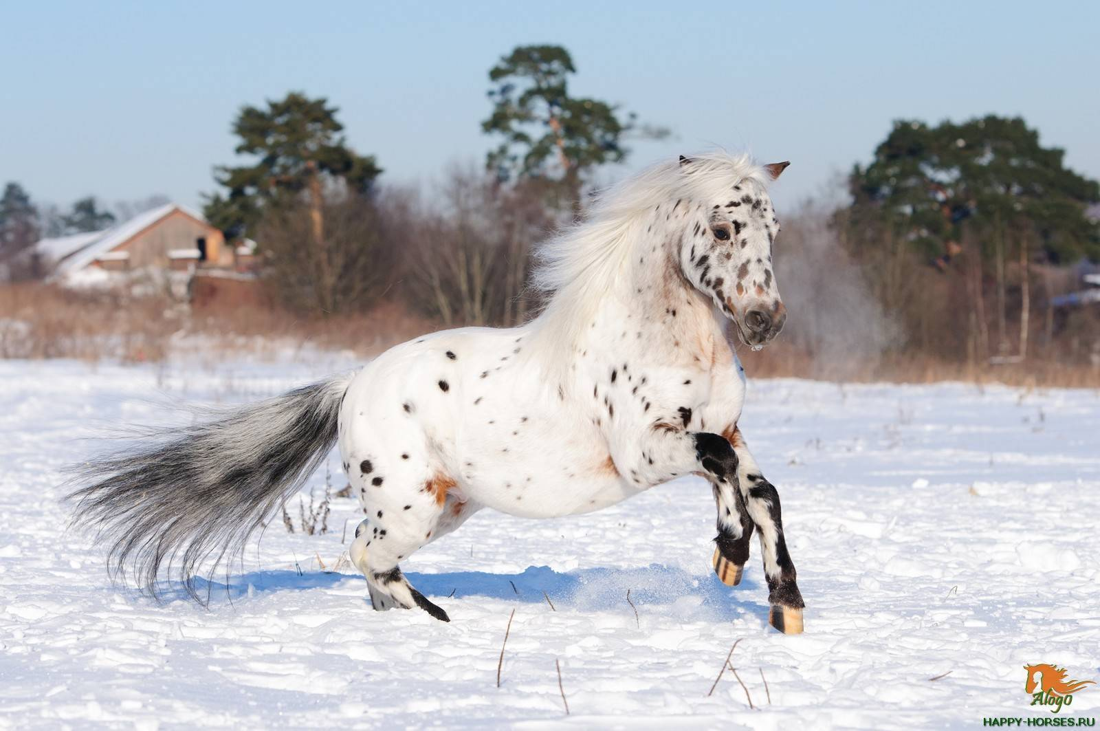 Пони: породы лошади, сколько живут и какие бывают