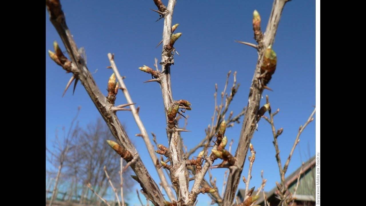 Уход за крыжовником весной: советы бывалых садоводов