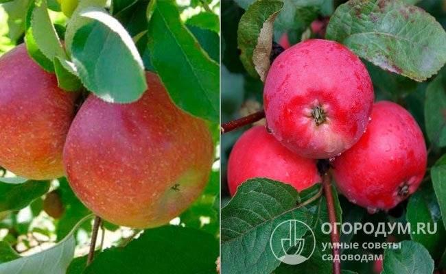 Сорт яблок легенда описание, фото, отзывы