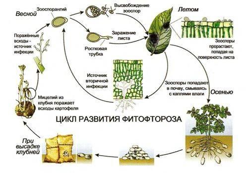 Фунгициды для сада: классификация, механизм действия, инструкция по применению