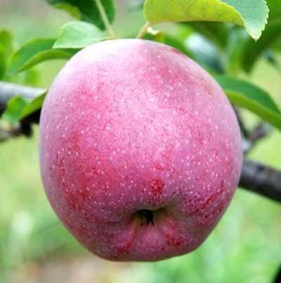 Яблоня «флорина»: описание сорта, опылители, фото