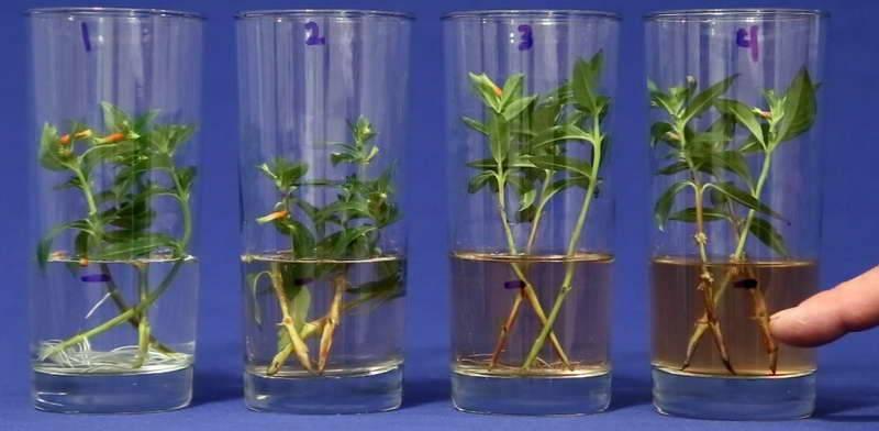 Фуксия выращивание и уход в домашних условиях размножение черенками и семенами