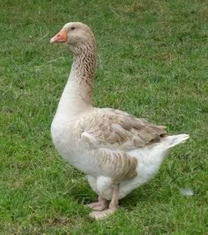 Арзамасские гуси: описание породы, особенности выращивания