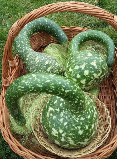 Лагенария: как вырастить овощ у себя в огороде