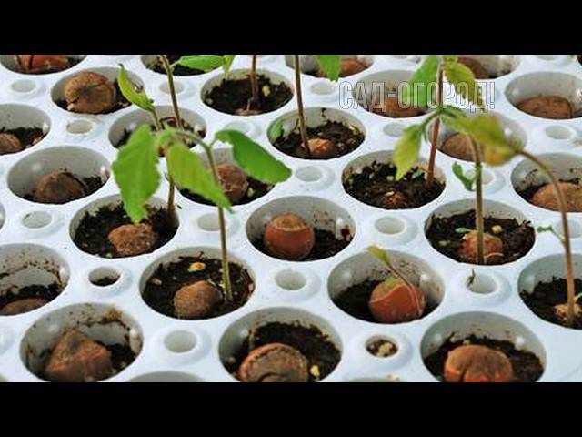 Фундук: посадка и уход на даче, все нюансы выращивания