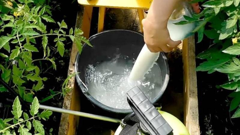 Чем обработать помидоры от фитофторы в теплице: как и какими препаратами и народными средствами можно бороться с заболеванием томатов, фото пораженных растений
