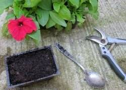 Как пересадить рассаду петунии в горшок и в грунт