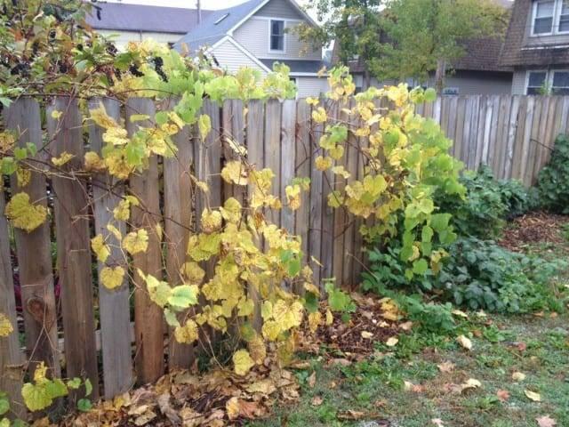 Как укрывать виноград на зиму осенью