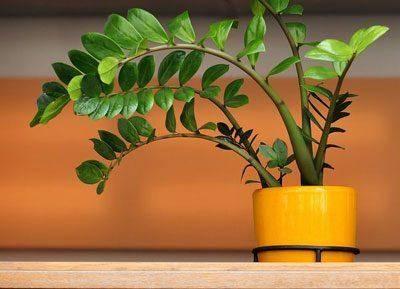 Замиокулькас домашний - уход, условия выращивания, размножение