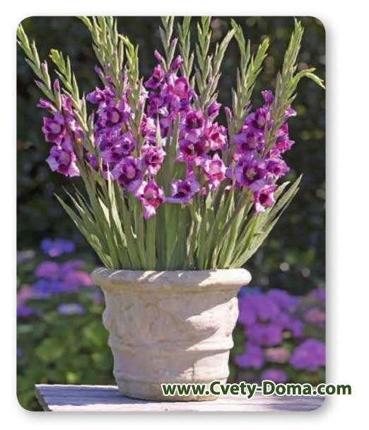 Выращивание гладиолусов в вазонах и кашпо на улице, можно ли посадить в горшок дома