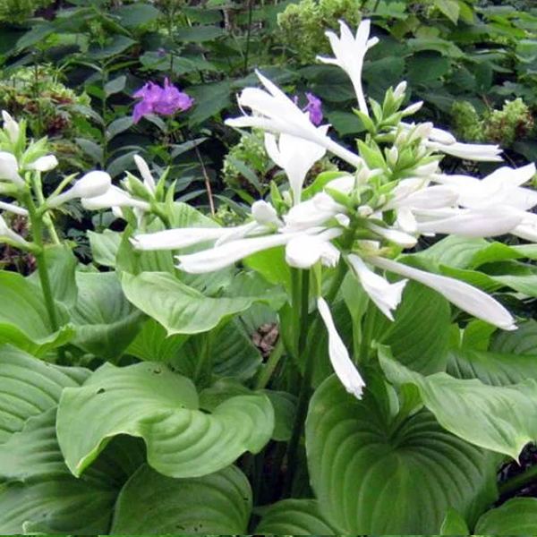 Цветок хоста: посадка и уход в открытом грунте, виды и сорта с фото и названиями