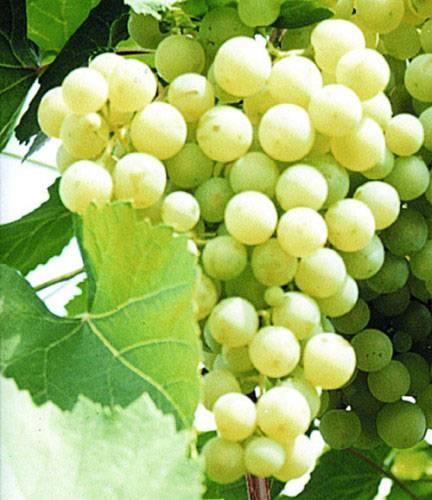 10-ка лучших неукрывных сортов винограда с фото и описанием