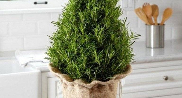 Выращивание розмарина из семян в домашних условиях: советы по посадке и уходу