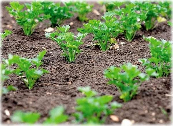 Как правильно посадить петрушку в открытом грунте