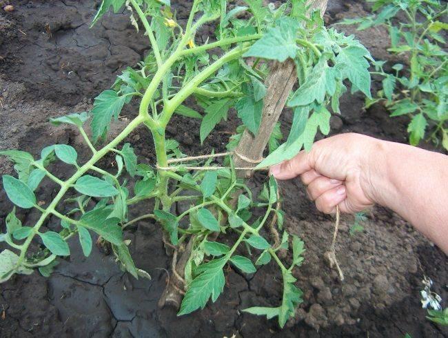 Подвязка помидор в открытом грунте: основные способы
