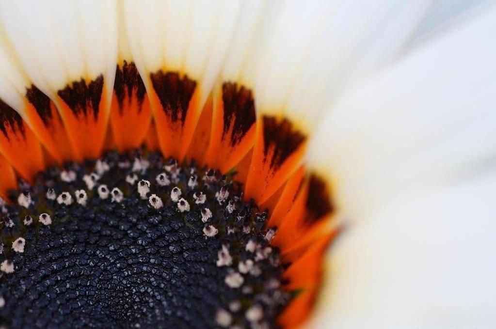 Диасция: выращивание из семян, фото, особенности ухода, советы и рекомендации