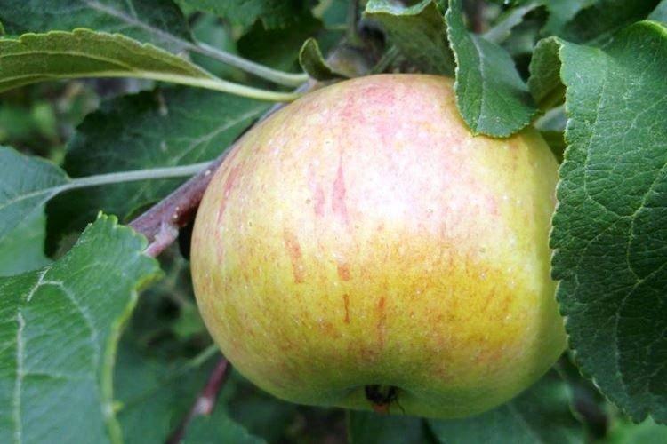 Яблоня медуница: описание сорта и фото