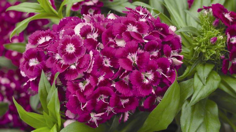 Гвоздика турецкая (74 фото): описание многолетних садовых цветов, сорта гвоздики бородатой для открытого грунта, размножение