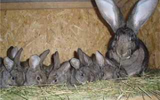 Искусственное осеменение кроликов: плюсы и минусы и как проводить