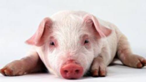 Возбудитель и симптомы дизентерии у свиней, методы лечения и профилактика