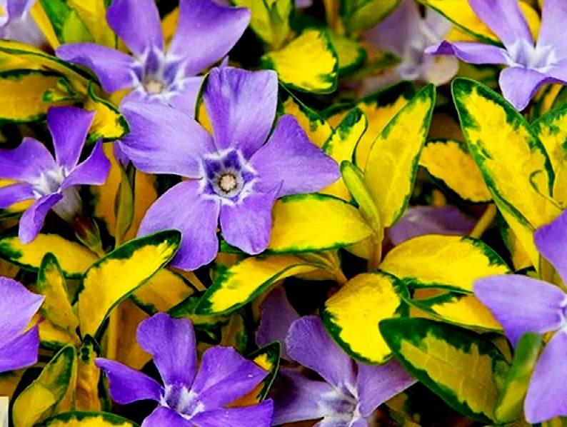 Барвинок: посадка и уход за цветком в открытом грунте