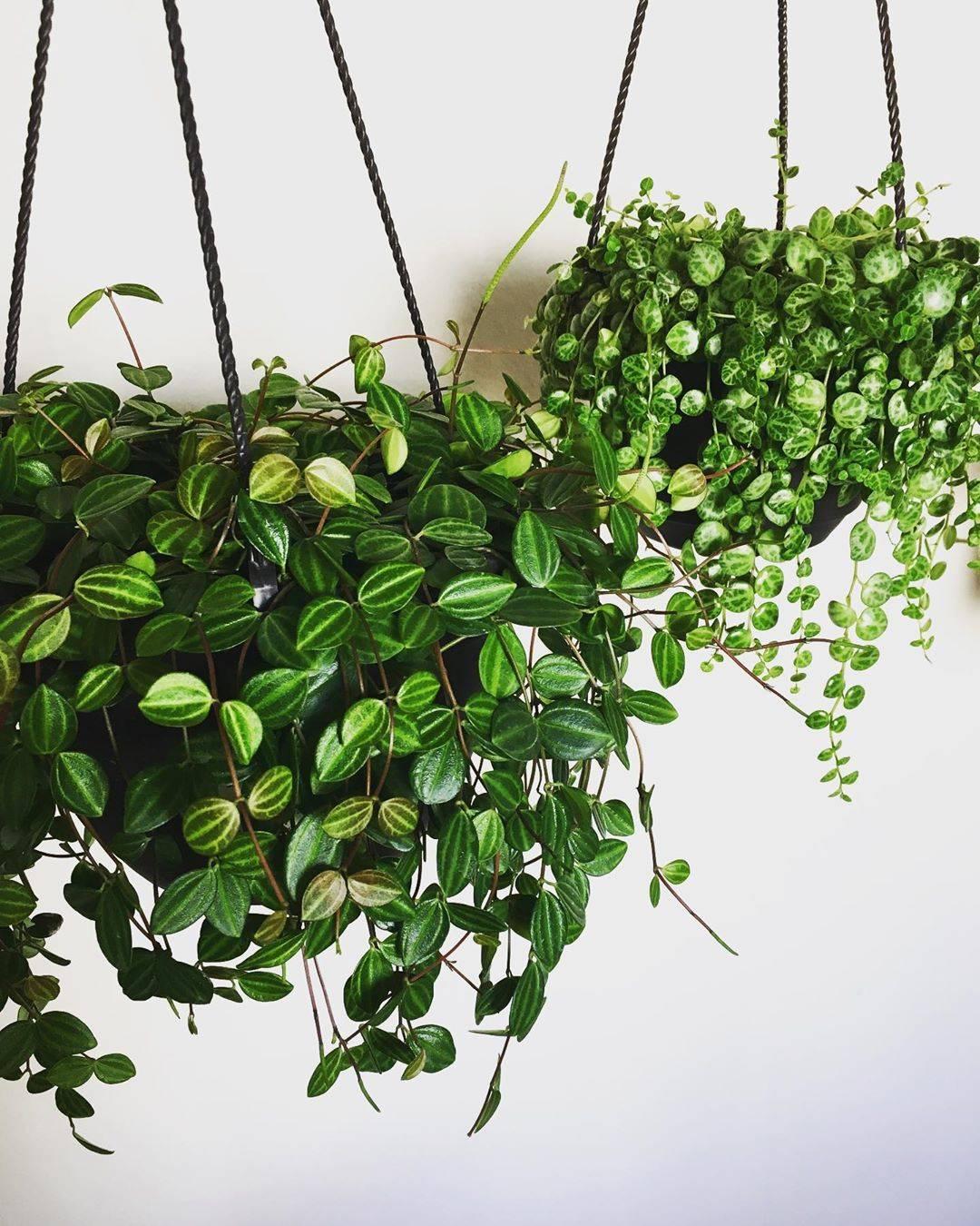 Ампельные цветы, однолетние ампельные цветущие растения в горшках