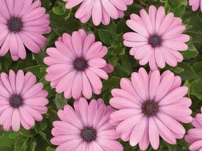 Остеоспермум: выращивание из семян и черенкованием, посадка, уход в домашних условиях и фото