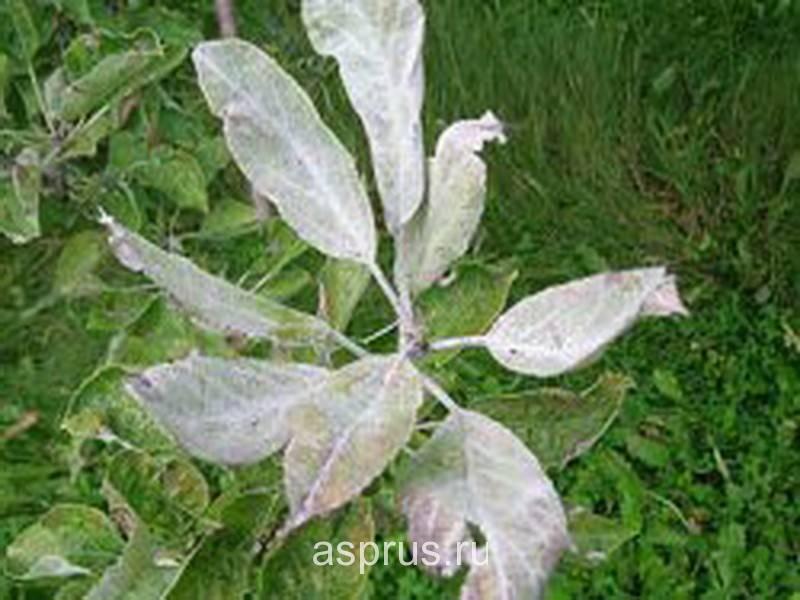 Груша лесная или дикая. описание и фото сортов. груша «лесная красавица»