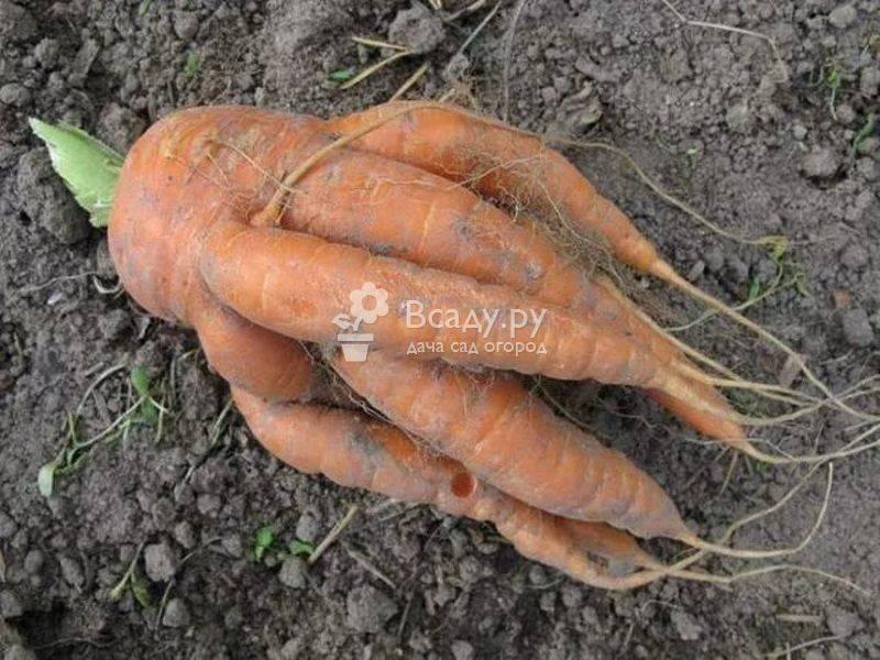 Подкормка моркови и свеклы органикой, минералами
