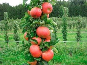 Посадка яблонь на урале: весной, летом и осенью, прививка, обрезка, как укрыть на зиму