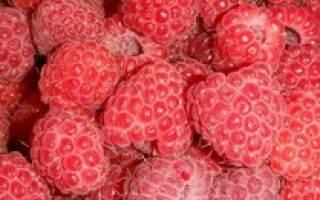 Малина «новость кузьмина»: характеристика, агротехника выращивания