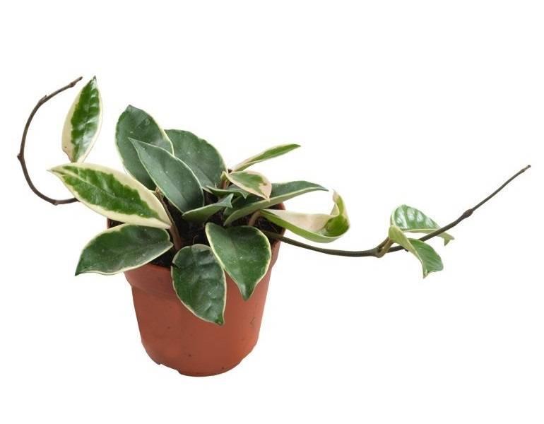 Уникальный декоративный сорт лианы хойя кримсон квин: описание, выращивание, уход, болезни и вредители