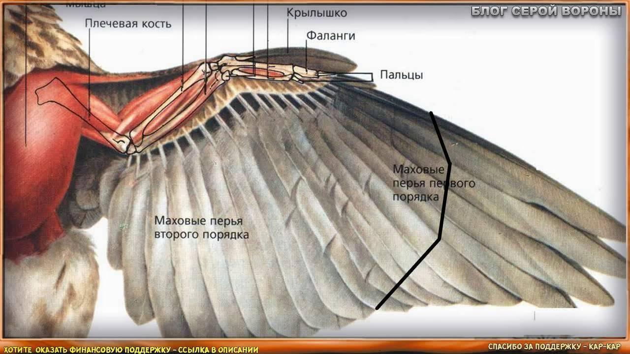 Правильная подрезка крыльев утки. советы и рекомендации