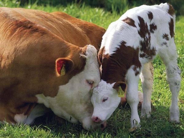 Как вырастить козлят без хлопот. основы кормления и ухода за козлятами в первые месяцы жизни