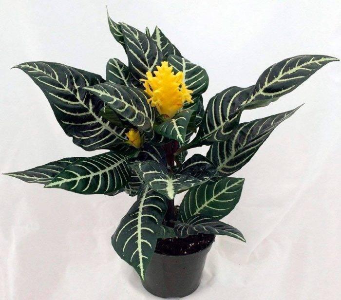 Цветок «Афеландра»: описание, фото, уход в домашних условиях