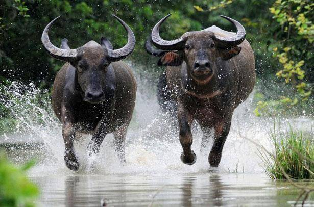 Индийский буйвол: как выглядит и чем опасен африканский бык