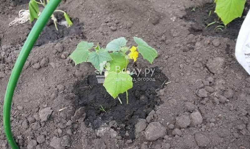 Чем подкормить огурцы в открытом грунте для отличного урожая, отзывы