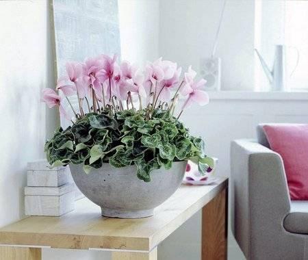 """Альпийская фиалка (европейский цикламен): как называется это комнатное растение по-другому, а также фото и уход в домашних условиях за """"бабушкиным"""" цветком"""