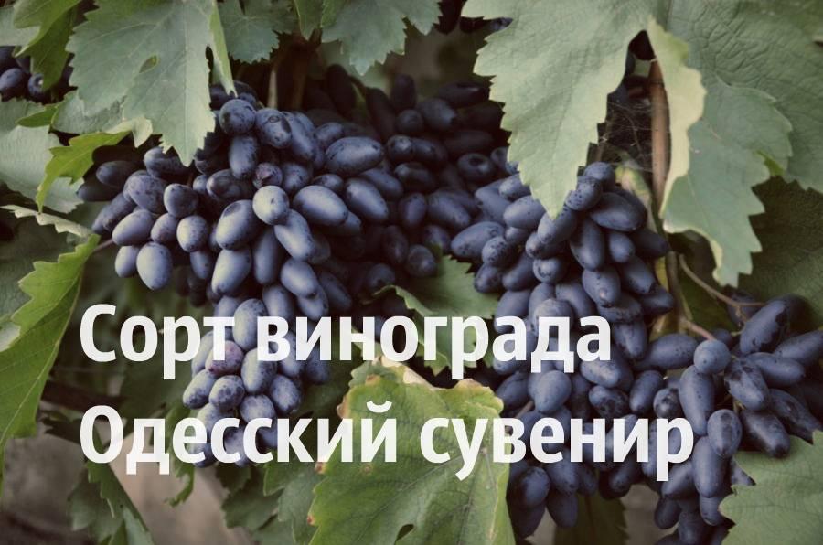 Виноград сувенир: сорта, описание, фото, отзывы