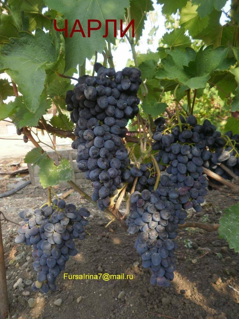 Виноград чарли: сорт, названный антрацитом за насыщенный почти чёрный цвет ароматных ягод