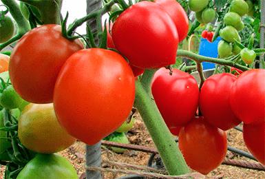 Если нужен обильный урожай — поможет томат «буденовка»: описание сорта, фото, характеристика