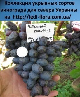 Сорта черного винограда: обзор и характеристики.