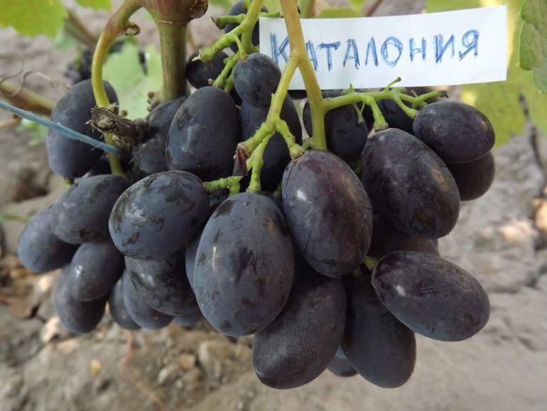 Виноград каталония сорт