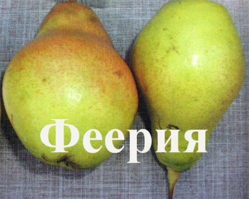 Груша феерия: описание, фото, отзывы о сорте, опылители