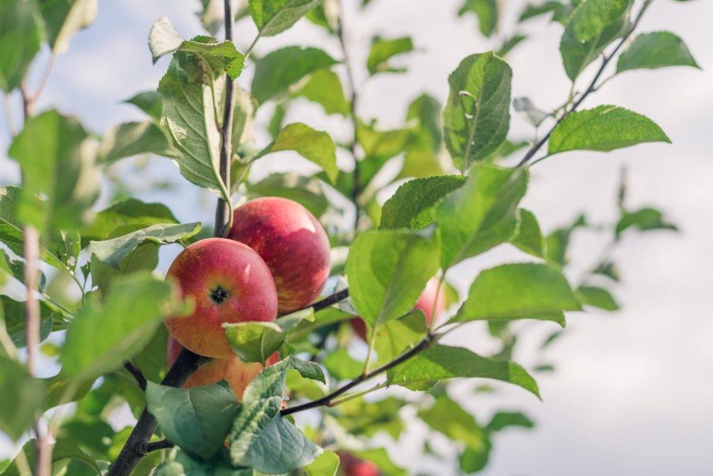 Яблоня лобо: разбираемся вместе