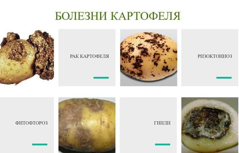 Чем опасен рак картофеля: признаки, описание, профилактика