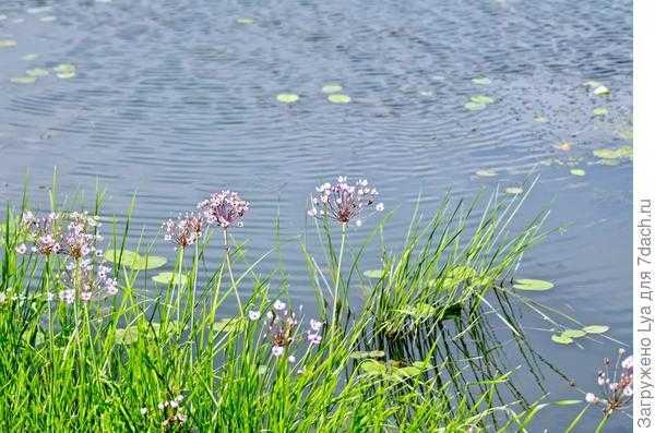 Растения для водоемов. список растений для прудов, берегов ручьёв с названиями и фото — ботаничка.ru