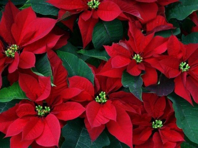 Прекрасная и разнообразная пуансеттия: виды цветка